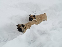 2018.03.13-14.14.52 (Pak T) Tags: bennett dog dogs olympus50200mm penelope pug pugs snow snowing storm white zd zuikodigital