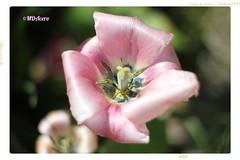 XY (mariadoloresacero) Tags: canoneos550d acero mdacero rose rosa fleurs flowers flores tulipes tulipanes