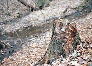 Stump along the Creek