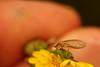 IMGP9204 (Dingilingi) Tags: urbanbiodiversity urbannature urbangreenspace australia insects