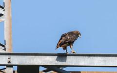 Red-tailed Hawk (nickinthegarden) Tags: redtailedhawk thediscoverytrail abbotsfordbccanada