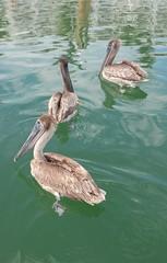 Pelicans forlornly watch the inaccessible bait traps (Kaemattson) Tags: florida keys key west fl atlantic ocean gulf mexico gulfofmexico atlanticocean bayofflorida everglades limestone keywest southernmost critters animals closeup