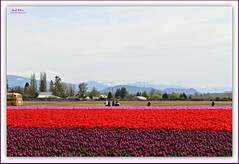 Roozengaarde fields... (MEA Images) Tags: tulips flowers gardens parks fields blooms flora nature skagitvalleytulipfestival roozengaarde mountvernon washington canon picmonkey
