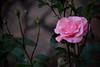 Rose is a rose is a rose... (Mike Goldberg) Tags: rose pink rosebuds neighborhood jerusalemvicinity nikond5300 mikegoldberg holiday
