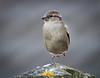 You Dancing? (dangerousdavecarper) Tags: dancing hopping house sparrow midair
