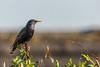 Starling (iantaylor19) Tags: british birds starling spring warwickshire wildlife canon 80d sigma 150600