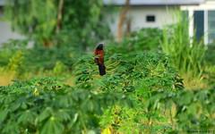 Greater Coucal (Centropus sinensis) (Steve Arena) Tags: thailandbirding2017 thailand 2017 bird birds birding nikon d750 chiangmai coucal centropussinensis greater coucalcrow pheasant pheasantchicken
