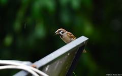 Eurasian Tree Sparrow (Passer montanus) (Steve Arena) Tags: thailandbirding2017 thailand 2017 bird birds birding nikon d750 chiangmai eurasiantreesparrow passermontanus weaver