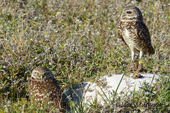 Burrowing Owls (LC10S) Tags: cape coral florida burrowing owl eye color mutation