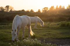 Profitons du dernier rayon... (Elyane11) Tags: cheval camargue couchédesoleil