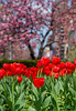 tulips kiss (nardell) Tags: tulips spring springtime primavera newyorkcity nyc manhattan urbannature nature naturephotos red green blooms blossoms bokeh 50mm
