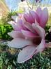 "IMG_0126e (tombarat) Tags: centralpark nyc usa conservatory""tulip""garden springtime"