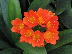 Kaffir Lily (Larry Myhre) Tags: kaffirlily flower monterey california