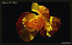 Rosa di Maggio - 2018 (agostinodascoli) Tags: rosa fiore nikon nikkor nature texture cianciana sicilia agostinodascoli