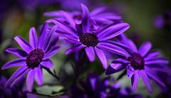 The Power Of Colour (AnyMotion) Tags: pericallis×hybrida floristscineraria senetti läuseblume petals blütenblätter 2018 blossom blüte plants pflanzen anymotion nature natur blumen floral flowers frankfurt colours colors farben purple violett lila 6d canoneos6d ngc npc