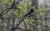 Rose Breasted Grosbeak (Hooker771) Tags: rose breasted grosbeak migration bird aviary watching cardinal gold finch fly flight fight