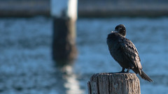 Little Black Cormorant perched on wooden pier (Merrillie) Tags: woywoy cormorant littleblackcormorant bronze pier australia birds newsouthwales animal nsw wildlife bird animals fauna centralcoast nature waterbirds