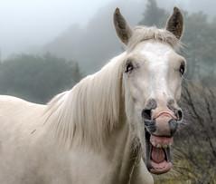 mors de rire (joboss83) Tags: cheval hors animal forêt brume nature blanc prairie var cuers fuji