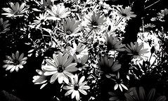 Full color. 210/365 (josemig78) Tags: flowers blackwhite mobile mobilephoto 365days