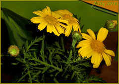 *Pure... (MONKEY50) Tags: art digital colors daisy flowers pentaxart green yellow autofocus contactgroups