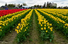 Skagit Valley Tulip Festival (Roozengaarde) (SonjaPetersonPh♡tography) Tags: laconner mountvernon landscapes plants flowers mtvernon skagitvalley skagitvalleytulipsfestival skagitcounty skagitvalleytulipfestival roozengaarde roozengaardeskagitvalleytulipfestival washington washingtonstate washingtonmountvernon stateofwashington tulips tulip tulipfestival tulipfields festival