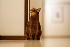 In the hallway (DizzieMizzieLizzie) Tags: hallway floor abyssinian aby lizzie dizziemizzielizzie portrait cat feline gato gatto katt katze kot meow pisica sony neko gatos chat fe ilce 2018 bokeh ilce7m3 a7iii sel85f14gm pose classic dof
