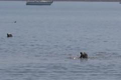 IMG_6462 (armadil) Tags: mavericks beach beaches californiabeaches kathie lowtide seal seals