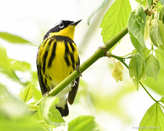 Magnolia Warbler (RKop) Tags: magrishriversidepark cincinnati ohio raphaelkopanphotography d500 nikkor600f4evr 14xtciii handheld warblers warbler
