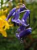 Isabella plantation Richmond Park April 2018 (#Dave Roberts#) Tags: flowere floweres azelea rhododendron colour macro bokeh bluebell fern trees london richmond park nnr isabella plantation photo meetup surrey creatives