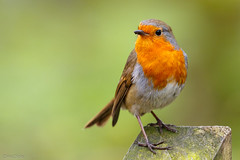 721A0868-Edit (ChrisClicks.) Tags: bird birds green leightonmoss orange portrait robin tree red breast