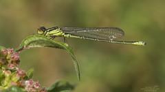 Erythromma viridulum (Pipa Terrer) Tags: campodecartagena erythrommaviridulum damselfly caballitodeldiablo zigoptera odonata insecta invertebrados