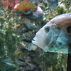 St. Petersfisk (kong niffe) Tags: akvarium akvarietibergen fisk fish tanks zeusfaber profile fishface