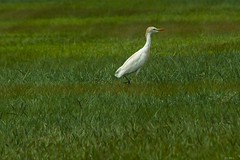 AIRONE    ----    HERON (cune1) Tags: animali animals uccelli birds erba grass africa costadavorio yamoussoukroarea della stato del vaticano