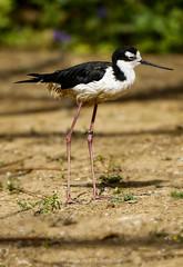 Black Necked Stilt (@Katerina Log) Tags: bird legs feather beak bokeh depthoffield outdoor wild wildlife wings attikazoopark katerinalog natura nature sonyilce9 fe70200mmf4goss