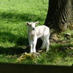 Lamb P1680838 thumbnail