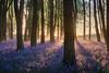 Badbury Backlight (Stu Meech) Tags: bluebells sunrise backlight spring badbury clump oxfordshire nikon d750 24120 lightroom cc exposure blend