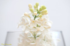 The scent of lilac... (Maria Godfrida) Tags: 7dwf flora flowers nature lilac white closeup vase whitebackground spring