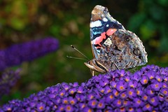 red admiral, lledgwial (paulatpowys) Tags: butterfly macro wales powys nikon d5500