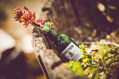 jameson [Day 3408] (brianjmatis) Tags: grow interesting photoaday nature whiskey plant planter trash jameson bottle project365 sanluisobispo california unitedstates us