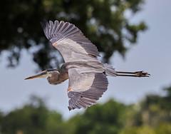 05-11-18-0017170 (Lake Worth) Tags: animal animals bird birds birdwatcher everglades southflorida feathers florida nature outdoor outdoors waterbirds wetlands wildlife wings