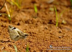 Heliopetes laviana laviana (Hewitson, 1868) (Marquinhos Aventureiro) Tags: wildlife selvagem vida natureza floresta brasil brazil hx400 marquinhos aventureiro marquinhosaventureiro borboleta butterfly heliopetes laviana nature adventure hesperiidae