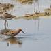 Curlew Sandpiper / 彎嘴濱鷸 (Calidris ferruginea)