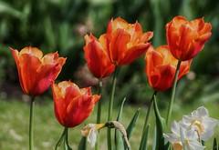 Orange tulips!😊 (LeanneHall3 :-)) Tags: orange tulips petals green leaves gardens flowers flowersarefabulous flowersarebeautiful flowerflowerflower closeup closeupphotography eastpark hull kingstonuponhull landscape canon 1300d