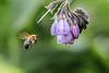 Bee-me up Scotty (Paul Wrights Reserved) Tags: bee pollenation pollinating pollination flower botanical bokeh bokehphotography simple beautiful