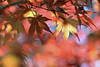 Japanese Maple (Mah Nava) Tags: blatt japanesemaple maple ahorn blätter