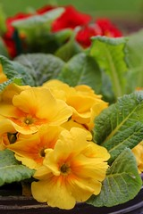 Colours of Spring (haberlea) Tags: garden mygarden red yellow green flowers primroses plants