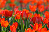 A bed of tulips (Dolores Harvey) Tags: tulips flowers nature orange red green bed spring leaves alive park growing blooms doloresharvey canvassingtheneighbourhood canvassingtheneighbourhoodcom canvassingtheneighbourhoodphotography newfoundland