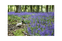 Woodland Wildlife. (muddlemaker1967) Tags: hampshire landscape photography nature pheasant bluebells beech trees spring 2018 fujifilm xt1 nikkor 105mm f25 ais legacy lens fotodiox adapter