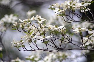 Springtime. white dogwood