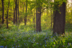 Enchanted Woods (Ping...) Tags: virginiabluebells woods enchanted light forest bluebells
